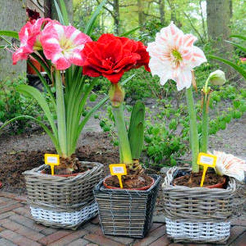 2Pcs Colorful Amaryllis Seeds Bonsai Home Aromatic Flower Essence Nature Garden Plants Hippeastrum Vittatum Lip Mask GH1