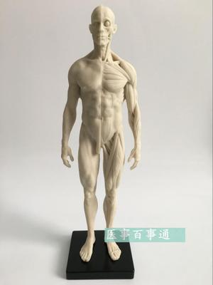30cm Medical Sculpture Drawing CG Refers To The Anatomy Model Of Human Musculoskeletal With Skull Structure Male/female