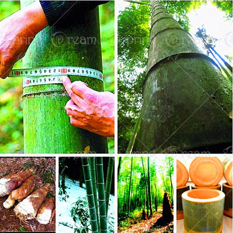 40pcs/bag Bamboo Bonsai Potted Rare Giant Bamboo Plants Professional Gaint Beautiful Bonsai For DIY Home Garden Household