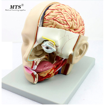Human head anatomical model Anatomy of the skull sagittal sinus Oral nasopharyngeal model biology anatomy medical gift