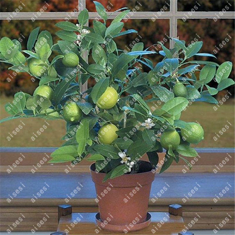 Pot For Lemon Fruit 20
