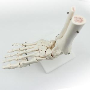 Модель стопы и голеностопа Человеческого Размера с хвостовиком и костями
