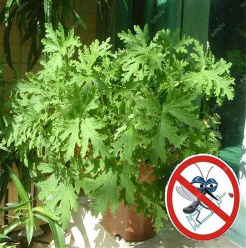 ¡Gran venta! 1000 piezas Mosquito repelente hierba bonsai Mosquito asesino pasto dulce flores jardín y casa Hurb planta fácil plantar