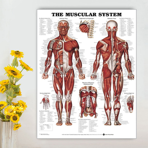 Funny Human Anatomy Muscular System Medical Education Figure Muscle Biceps Poster Wall Stickers Party Whimsy Useful Background(China)