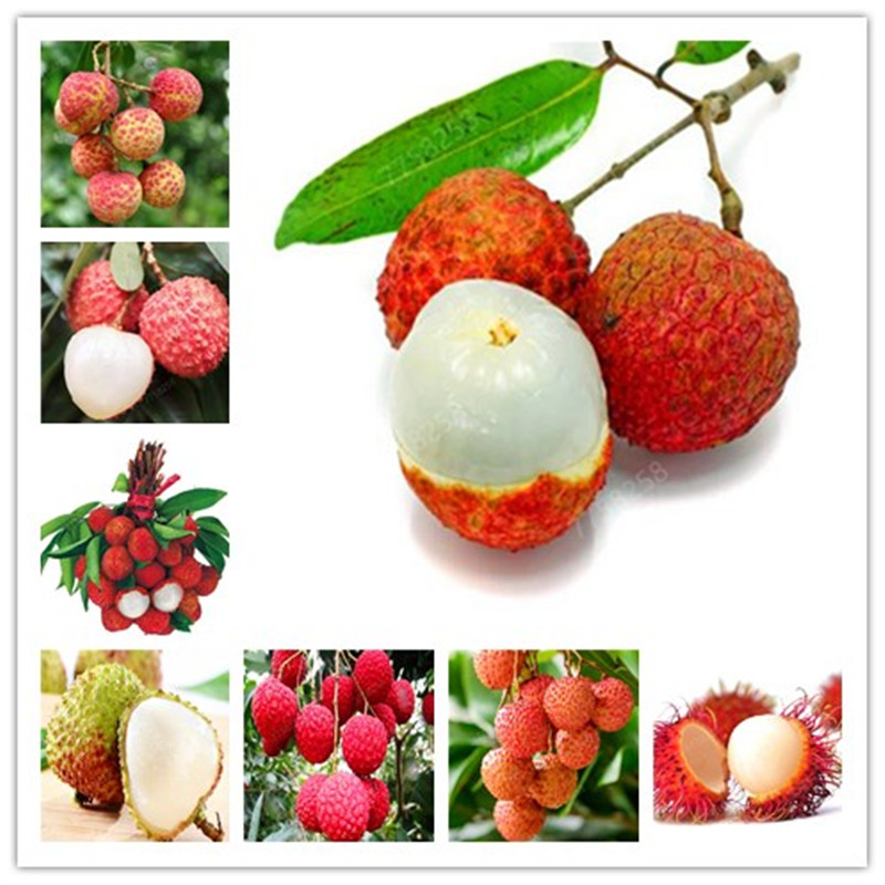 Hot Sale! 5 Pcs Litchi Giant Lychee Home Gardening Outdoor Fruit Bonsai Tree Sementes House Plant Pot Survival Rate Is Very High