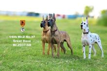 Collectible 1/6 Scale Pet Dog Model Mr.Z MRZ037 The German Great Dane(all 6 colors) for 12