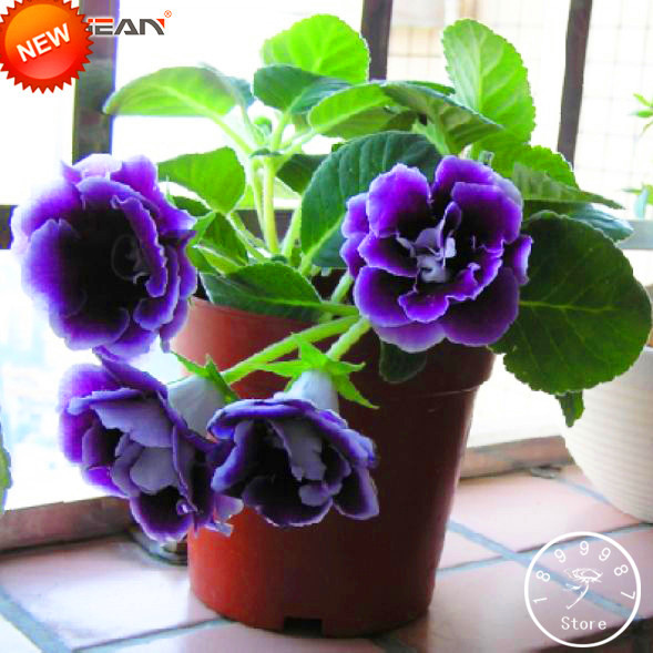 New Arrival!9 Colors Gloxinia Garden Perennial Flowering Plants Sinningia Speciosa Bonsai Balcony,100 Flores/Package