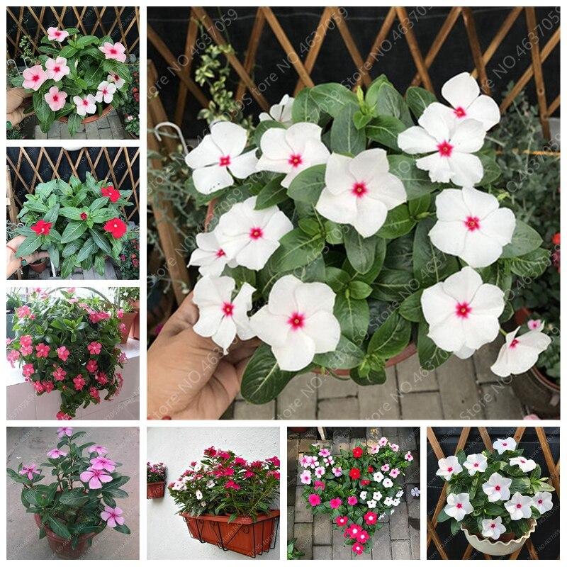 100 Pcs Exotic Mixed Color Periwinkle Bonsai Flower Vinca Jardin Blooming Flowers Potted Mini Plants For Home Garden Flower Pot