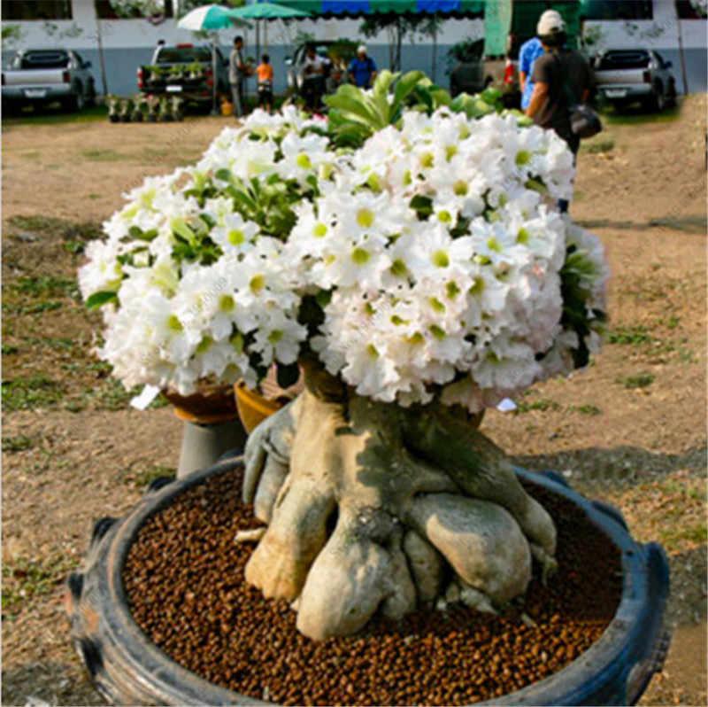 100% صحيح وردة الصحراء بونساي الزينة النباتات شرفة بونساي بوعاء الزهور Drawf العدينة Obesum بونساي-2 الجسيمات/الكثير