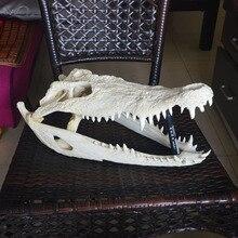 1Pcs Genuine Crocodylus siamensis Siamese Crocodile Skull Taxidermy 43CM/17