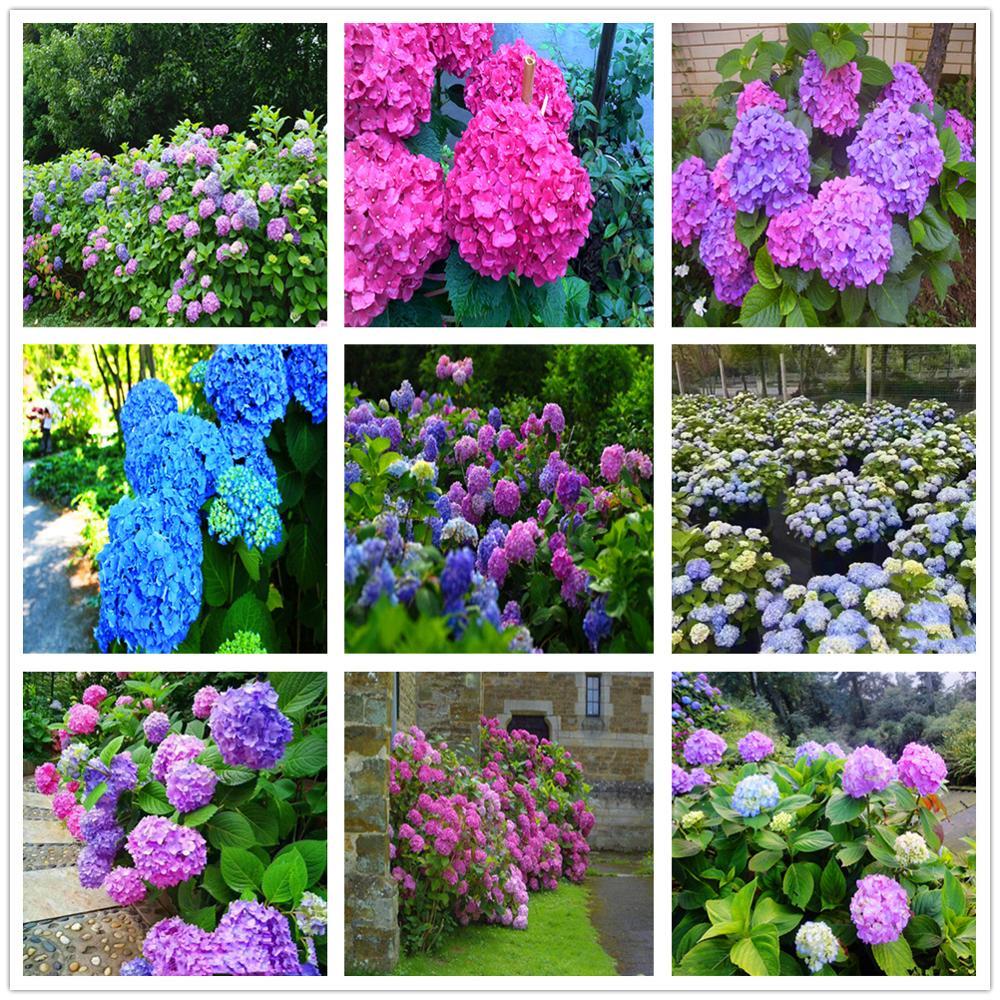 Plant Flower Bath Salts Big-leaf Hydrangea Essence 100Pcs XZZ-281