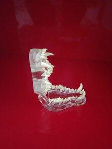 Image 4 - Transparante Hars Hond Anatomische Tanden Onderwijs Demonstratie Veterinaire Dier Skeleton Crystal Specimen Gebit Model