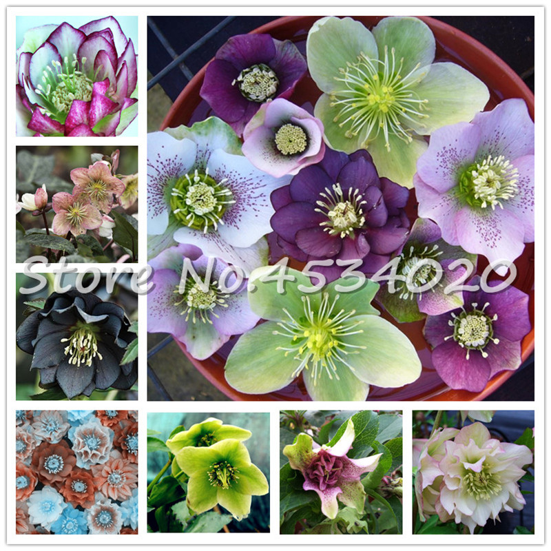 100 Pcs Japanese Hellebore (Christmas Rose) Helleborus Niger Bonsai Flower Plant Home Garden Free Shipping Novelty Plant