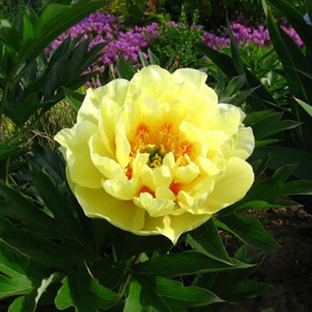 50pcs Yellow Peony Seeds Beautiful Flower Bonsai Plants Garden Decoration