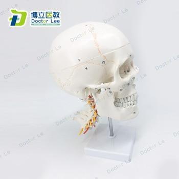 1:1 Life Sized Number Marked Human Skull Neurology Craniocerebral Cervical Vertebra Anatomy Bone Suture Skull Model