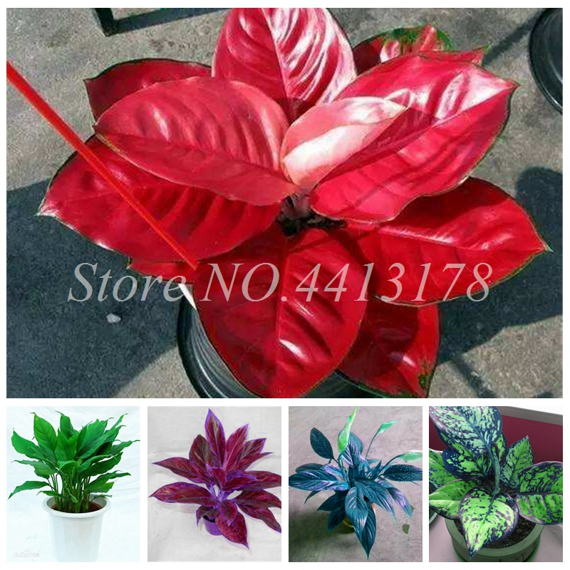 Beautiful Aglaonema 'Pink Dud' Mosaic Plants Flower Rare Living Rooms Bonsai Outdoor Garden Greenhouse Mini Potted 100 Pcs