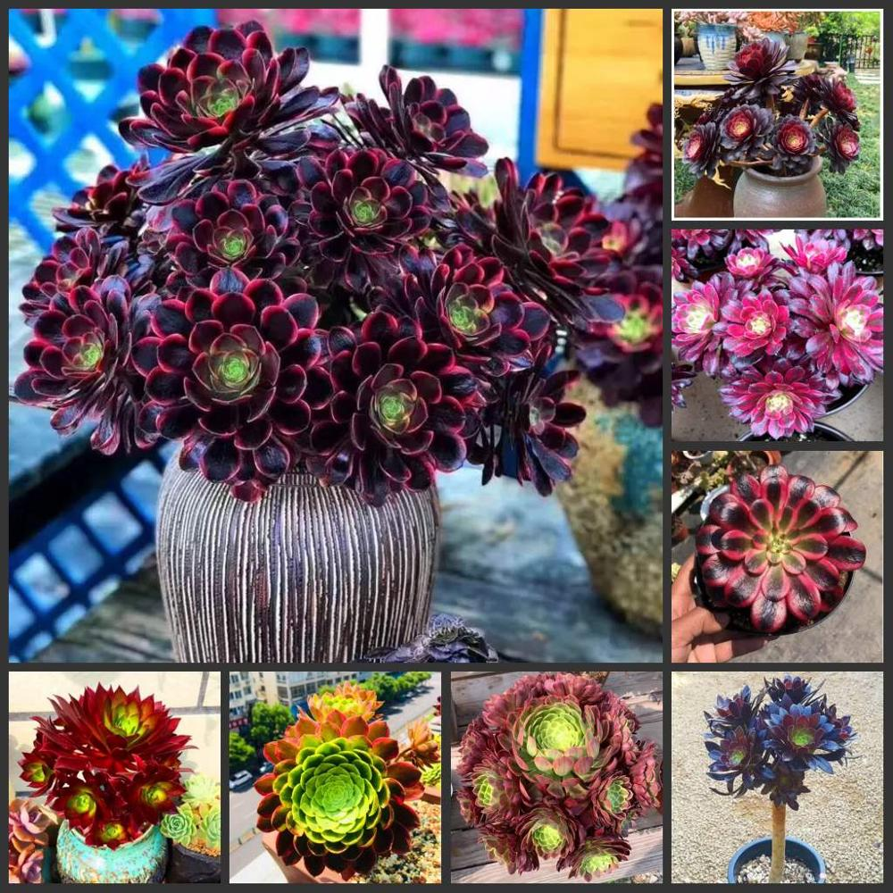 Free Shipping 50pcs  Aeonium SS - Heifashi - Lithops Echeveria Adenium Obesum - Desert Rose Flower SS