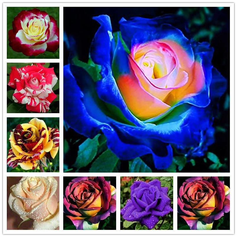 50Pcs Rare Rainbow Rose Seeds Home Nature Garden Bonsai Plants Vegetable Fruits Hibiscus sabdariffa Flower Fragrant Incense
