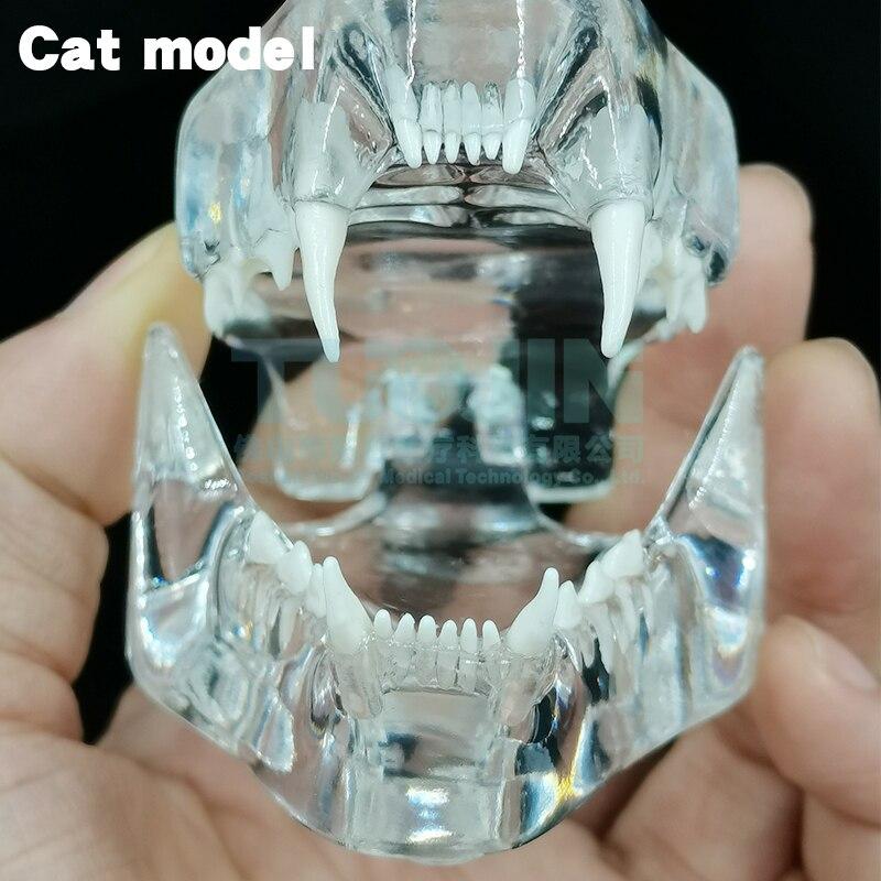 Teaching Dental Teeth Model Cat Tooth Model Catamount Cat's Teeth Cat Dentition Model Medical Training Equipment