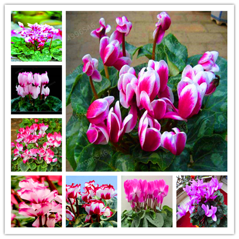 100 Pcs Cyclamen Bonsai Mixed Indoor Potted Flower Plants Perennial Flowering Plants For Balcony Garden Bonsai Natural Growth
