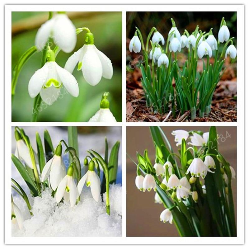 100 PCS Galanthus Nivalis Bonsais Common Snowdrop Flower Bonsais Beautiful Garden Freezing Plants Bonsai Balcony Flower