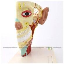 12419/nerwy głowy z nerwem trójdzielnym i gałęziami