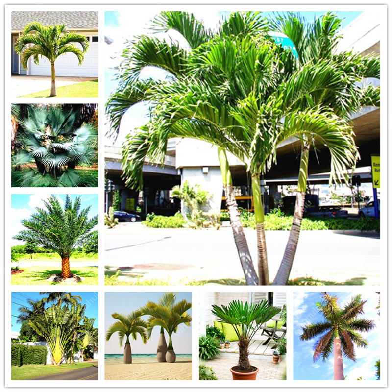 10 Pcs Palm Flores Bonsai, Ravenala Madagascariensis Chinese Fan Palm Plant,Tall Evergreen Tree Diy Garden,budding Rate 97%
