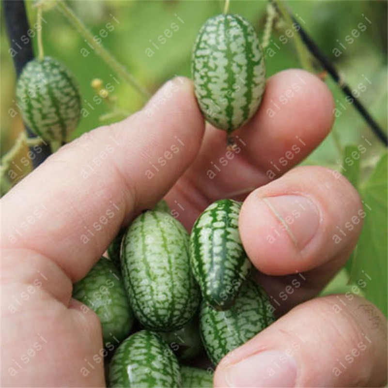20Pcs Super Mini Watermelon