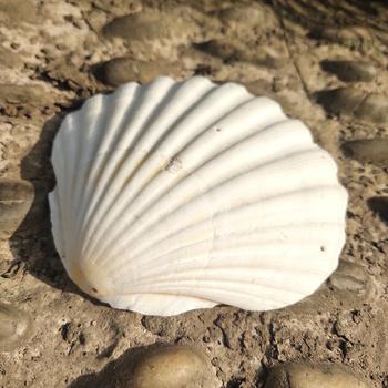 2 sztuk 10-12CM naturalne muszle duży biały muszelki muszle Ornament Nautical Home Decor plaża dekoracje ślubne biżuteria DIY Shell tanie i dobre opinie Zwierząt Organiczny materiał MEDITERRANEAN 40-62g pcs