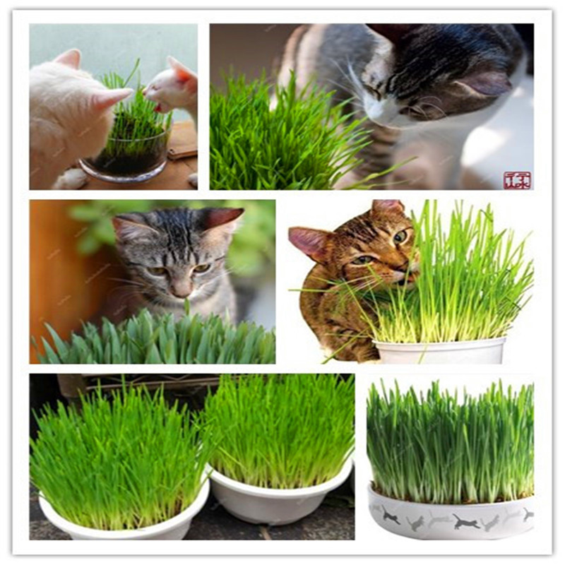 1000 Pcs Cat Grass Bonsai Foliage Plant Bonsai Wheat Grass Mint Smell Superior Cat Food For Your Pet Easy To Grow