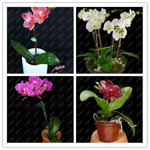 Pot For Phalaenopsis Orchid 100