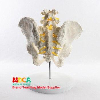 Lumbar pelvis model spine anatomy model medical teaching equipment bone model