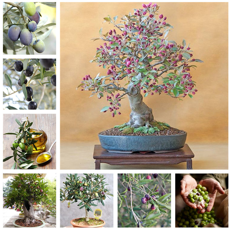 10 Pieces Olive Tree Bonsai Olea Europaea 10 Exotic Fresh Bonsai Plant Tree Mini Olive Tree Olive Tree Bonsai Garden Supplies