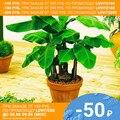 Банан декоративный СЕМЕНА (5 шт) Семена комнатных растений