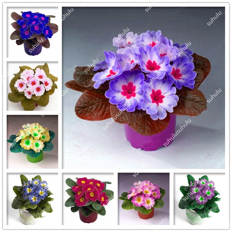 100 Pcs 100% True Europe Primula Acaulis Bonsai Primrose Indoor Bonsai Flower Plants For Home Garden Planting Tropical Flower