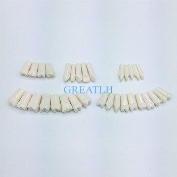 Simulación de resina Modelo dental de grano de diente para la preparación de exámenes de dentista enseñanza de alta calidad