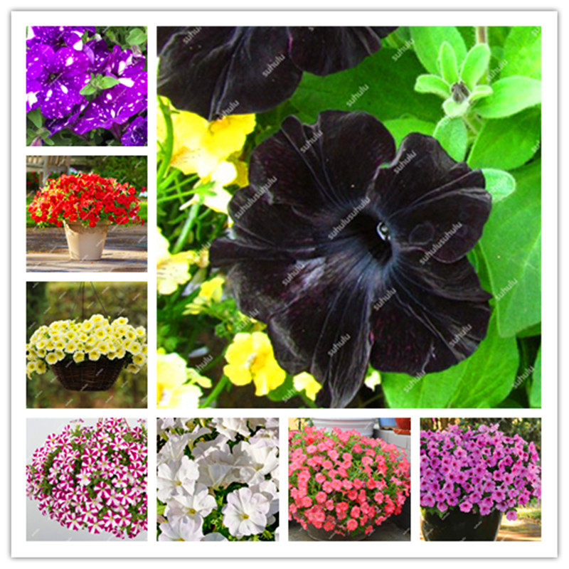 100Pcs/bag Bonsai Petunia Flower Morning Glory Plant Very Easy Grow Rare Petunia Flowers Bonsai Plant For Home Garden Decoration