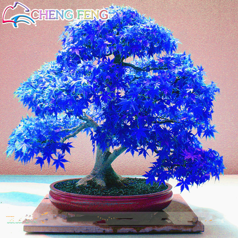 Bonsai Maple-Tree Acer Japanese Blue Sow Ghost Palmatum Atropurpureum All-Year 100%Real title=