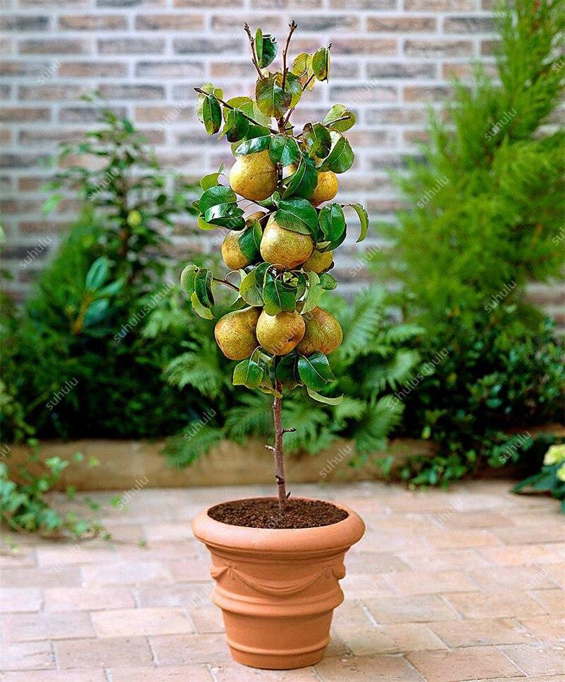 Bonsai Pear Mini Pear Tree Bonsai Super Sweet Fruit Bonsai Quality Potted Plants For Home Garden DIY 20 Pcs Balcony Sweet Fruits