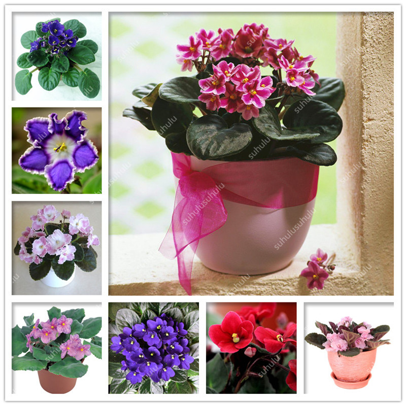 100 Pcs Mixed Color Violet Bonsai,African Violet Flower,Mini Garden Plants Violet Flowers Perennial Herb Matthiola Incana Planta
