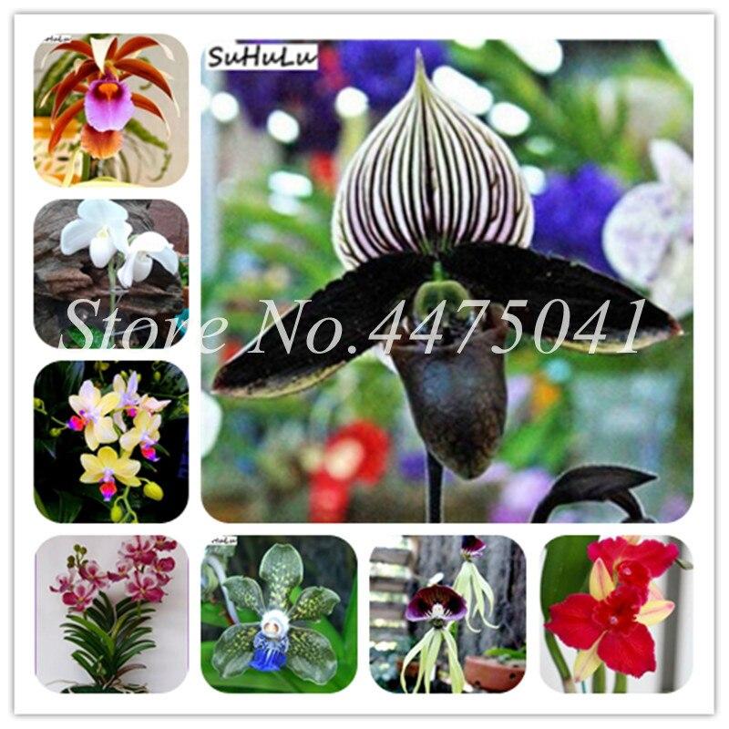 200 Pcs Rare Japanese Monkey Face Orchid Bonsai Diy Home Garden Plants Pot Bonsai Flowers Man Orchid Multiple Varieties 22 Color