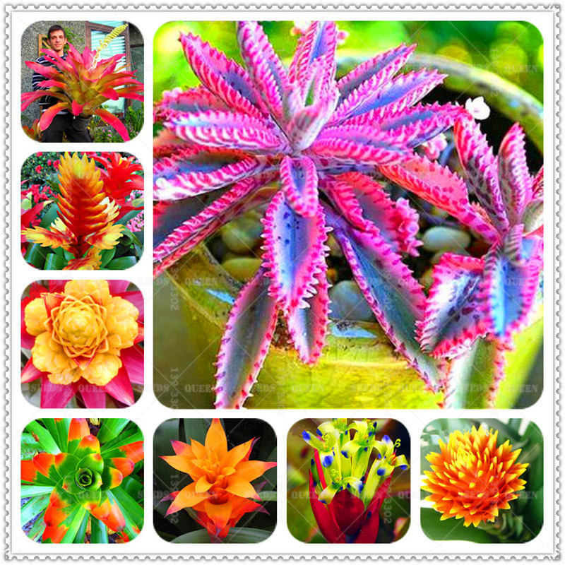 BONSAI 200pcs Bromeliad Cactus Rare Colorful Flower Courtyard Succulent Flower Pot Planting For Home Garden Supplies