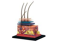 4D Menschlichen Haut und Haar Organe Montage Puzzle Spielzeug Medizinischen Lehre Modell Puppe Wissenschaft Anatomisches Modell
