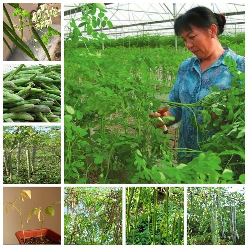 10 Pcs/ Bag Japan Moringa Bonsai Edible Ornamental Flores Home Garden Plant Outdoor Garden Tree Plantas For Flower Pot Planter