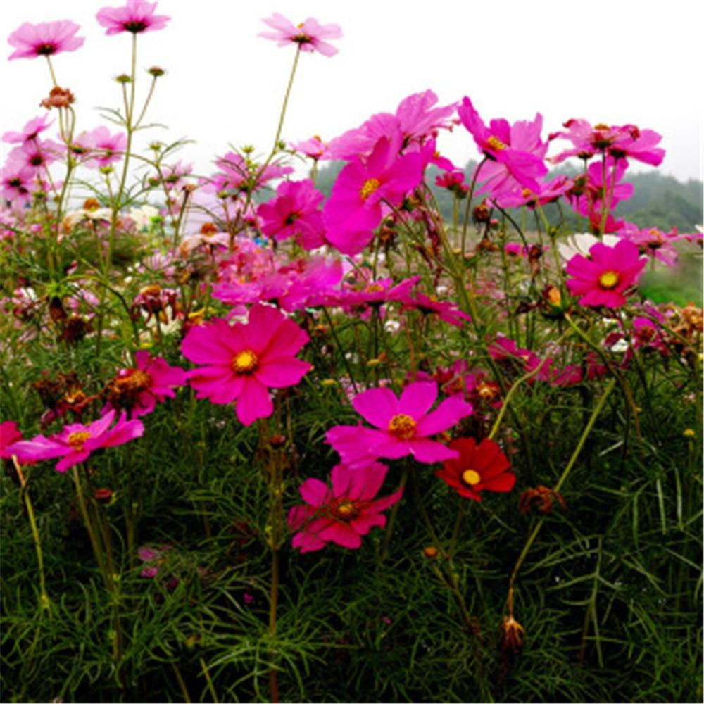 100Pcs/bag Fresh Flower Plant Bath Salts Colorful Pink White Chrysanthemum Essence MLXH-16-A