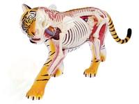 Tiger 4d master puzzle Assembling toy Animal Biology organ anatomical model medical teaching model