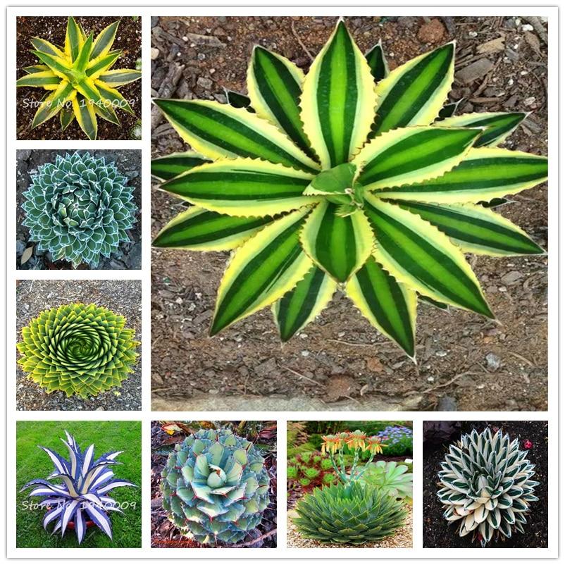 Plant Flower Bath Salts Colorful Agave Essence 100Pcs XZZ-308
