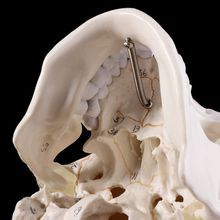 Human Skull Skeleton-Head-Studying Model Teaching-Supplies Anatomical-Anatomy Life-Size
