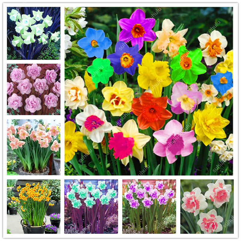 100 Pcs Flower Daffodil,daffodil Flores(not Daffodil Bulbs)bonsai Flower Plantas Aquatic Plants Double Petals Narcissus Garden