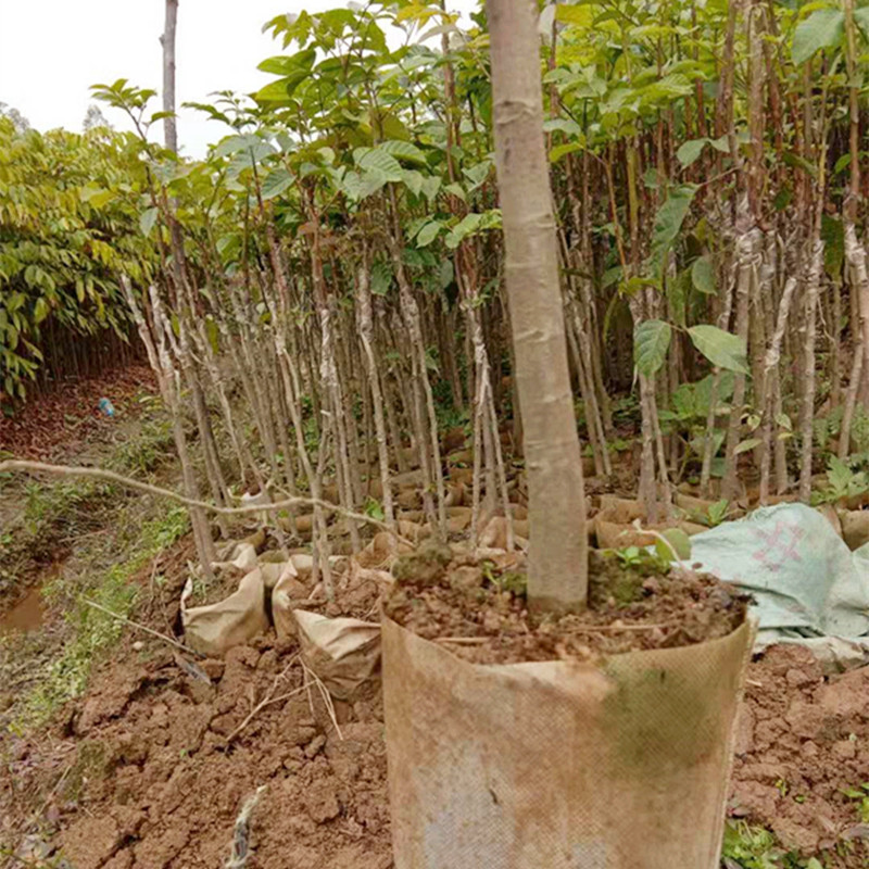 Nursery Direct Selling Black Olive Grafted Seedlings Guangxi Black Olive Nutrition Cup South Fruit Tree Seedlings Price